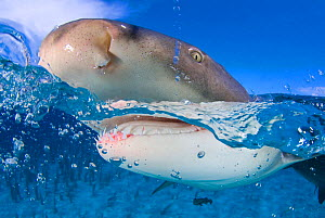 Lemon shark (Negaprion brevirostris) at the surface, split level. Little Bahama Bank, Bahamas. West Atlantic Ocean. - Alex Mustard