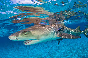 Lemon shark (Negaprion brevirostris) in shallow water with reflection at the surface. Little Bahama Bank, Bahamas.  -  Alex Mustard