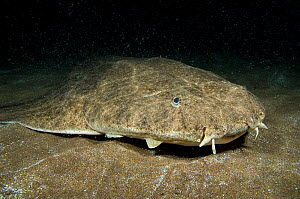 Angelshark (Squatina squatina) camouflaged on the seabed at night. Gran Canaria, Canary Islands, Atlantic ocean. East Atlantic Ocean. The specks above the Angelshark are a swarm of mysiid shrimps. - Alex Mustard