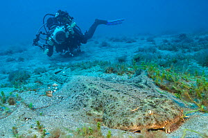 Diver photographing an Angelshark (Squatina squatina) as it rests on the seabed. Gran Canaria, Canary Islands, Spain. - Alex Mustard