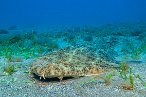 Angelshark (Squatina squatina) resting camouflaged on the seabed. Gran Canaria, Canary Islands, East Atlantic Ocean. - Alex Mustard