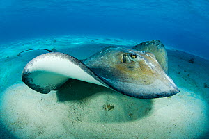 Southern stingray (Hypanus americanus) swimming over seabed, Grand Cayman, Cayman Islands. British West Indies, Caribbean Sea.  -  Alex Mustard