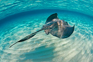Southern stingray (Hypanus americanus) swimming over sand ripples on sand bar, Grand Cayman, Cayman Islands. British West Indies. Caribbean Sea.  -  Alex Mustard