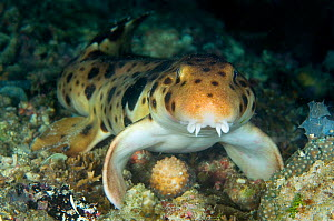 Triton Bay epaulette shark / Walking shark (Hemiscyllium henryi) walking along the seabed on its fins at night, Triton Bay, West Papua, Indonesia.  New species first described in 2006.  -  Alex Mustard