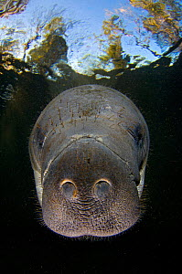 Florida manatee (Trichechus manatus latirostrus) swimming under trees in Three Sisters Spring, Crystal River, Florida, USA. January - Alex Mustard