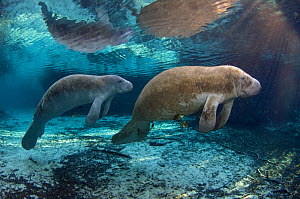 Two Florida manatee (Trichechus manatus latirostrus) surfacing to breathe, in morning light. Three Sisters Spring, Crystal River, Florida. USA. January - Alex Mustard