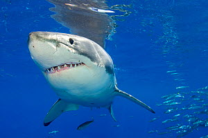 Great white shark (Carcharodon carcharias) portrait, Guadalupe Island, Mexico, Pacific Ocean.  -  Alex Mustard