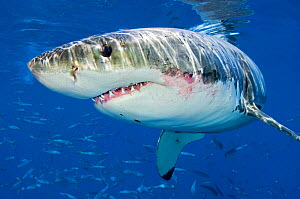 Male Great white shark (Carcharodon carcharias) showing scars from hunting, Guadalupe Island, Mexico, Pacific Ocean. - Alex Mustard