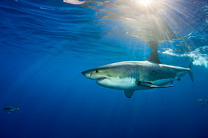 Male Great white shark (Carcharodon carcharias) with sunrays, Guadalupe Island, Mexico, Pacific Ocean. - Alex Mustard