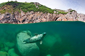 Atlantic grey seal (Halichoerus grypus) swimming beneath the surface, Lundy Island, Devon, England, UK. July 2010. Highly commended, Coast and Marine category, British Wildlife Photography Awards (BWP...  -  Alex Mustard