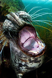 Female Grey seal (Halichoerus grypus) mouthiing the camera lens, Lundy Island, Devon, England, UK. July  -  Alex Mustard