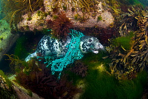 Female Grey seal (Halichoerus grypus) tangled in a discarded fishing net, Lundy Island, Devon, England, UK, July 2010.  -  Alex Mustard