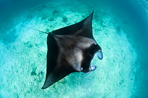 Large Manta ray (Manta birostris) feeding on plankton in very shallow water, viewed from the surface. Hanifaru Lagoon, Baa Atoll, Maldives. Indian Ocean.  -  Alex Mustard