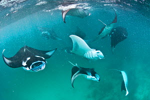 Group of Manta rays (Manta birostris) feeding together on plankton in a shallow lagoon. Hanifaru Lagoon, Baa Atoll, Maldives. Indian Ocean. - Alex Mustard