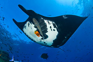 Giant Pacific Manta Ray (Manta birostris) with Remora (Echeneididae) fish is cleaned by an Orange Clarion Angelfish (Pomacanthinae)  Roca Partida, Revillagigedos Islands, Mexico. East Pacific Ocean. F...  -  Alex Mustard