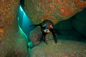 California sea lion pup (Zalophus californianus) portrait in a rocky underwater cave. La Paz, Baja California Mexico. Sea of Cortez, East Pacific Ocean. October - Alex Mustard