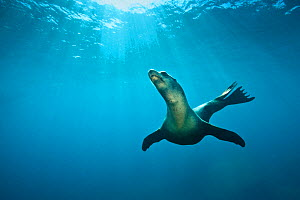 California Sea lion (Zalophus californianus) swimming in open water. La Paz, Baja California Mexico. Sea of Cortez, East Pacific Ocean. October - Alex Mustard