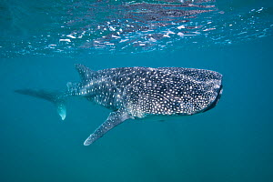 RF- Young Whaleshark (Rhincodon typus) portrait, less than 5m in length, feeding on plankton near the surface. La Paz, Mexico. Sea of Cortez. October. (This image may be licensed either as rights mana...  -  Alex Mustard