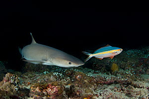 A Whitetip Reef Shark (Triaenodon obesus) hunting  Fusilier fish (Caesionidae) at night. Note how the eye is dialated to improve night vision. Ari Atoll, Maldives. Indian Ocean. May  -  Alex Mustard