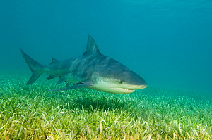 A large female Bull shark (Carcharhinus leucas) cruises over sea grass. Walkers Cay, Northern Bahama Islands, Republic of Bahamas. March  -  Alex Mustard