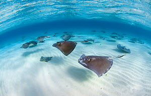 Southern Stingrays (Hypanus americanus) swimming in a school over sand ripples, Grand Cayman, Cayman Islands. British West Indies. March  -  Alex Mustard