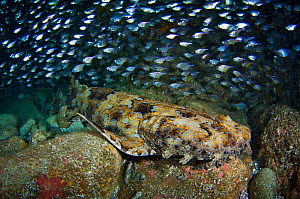 An Ornate / Banded Wobbegong Shark (Orectolobus ornatus) lies amongst boulders inside a cave, during the day. Fish Rock, Southwest Rocks, New South Wales, Australia. Pacific Ocean. November - Alex Mustard