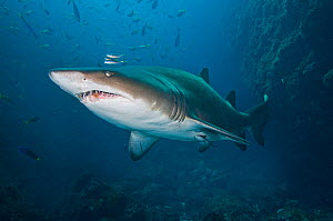 A large female Grey nurse /Sand Tiger / Ragged-tooth Shark (Carcharias taurus)  Fish Rock, Southwest Rock, New South Wales, Australia. Pacific Ocean. In the final stages of pregancy, female gray nurse...  -  Alex Mustard