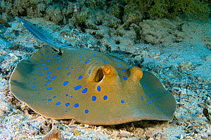 RF- Blue-spotted / Ribbontail Stingray (Taeniura lymma) resting on the seabed, Ras Mohammed, Red Sea, Egypt. June. (This image may be licensed either as rights managed or royalty free.) - Alex Mustard