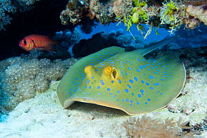 Blue-spotted / Ribbontail Stingray (Taeniura lymma) resting on the seabed, Ras Mohammed, Red Sea, Egypt. March - Alex Mustard