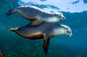 A pair of Australian Sea Lions (Neophoca cinerea) socialising in the shallows. Kangaroo Island, South Australia, Australia. Southern Ocean. November  -  Alex Mustard