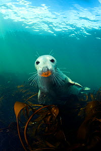 A young Grey Seal (Halichoerus grypus) above kelp in the Farne Islands. This seal has an orange snout from foraging on a rusty ship wreck. Northumberland, England, UK. North Sea. August  -  Alex Mustard