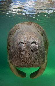 A Florida manatee (Trichechus manatus latirostrus) close up head /nostrils portrait in Three Sisters Spring. Crystal River, Florida, USA. February 2010 - Alex Mustard
