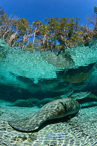 Striped Mullet (Mugil cephalus) cleaning a Florida manatee (Trichechus manatus latirostrus) as it sleeps in Three Sisters Spring. Crystal River, Florida, USA. February 2010  -  Alex Mustard