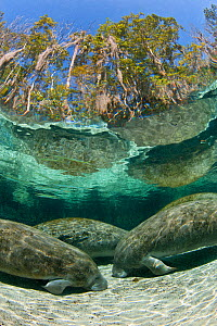 A group of Florida manatees (Trichechus manatus latirostrus) sleeping in the afternoon at Three Sisters Spring. Crystal River, Florida, USA. Manatees sleep on the bottom of the spring, floating up per... - Alex Mustard