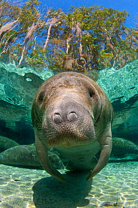 A Florida manatee (Trichechus manatus latirostrus) head portrait in Three Sisters Spring. Crystal River, Florida, USA. February 2010 - Alex Mustard