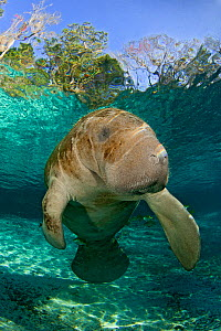 Young Florida manatee (Trichechus manatus latirostrus) portrait, Three Sisters Spring, Crystal River, Florida, USA. February 2010 - Alex Mustard
