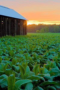 Barn in a field of tobacco (Nicotiana sp) at dawn, Hadley, Masaschusetts, USA, July 2007  -  Jerry Monkman