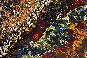 Barnacles, periwinkles, lichen, seaweed, and blue mussels in a tide pool at Wonderland, Acadia National Park, Maine, USA, August 2009 - Jerry Monkman