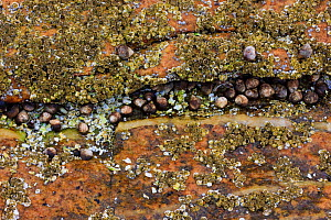 Barnacles and periwinkles exposed on rock at low tide, Wonderland, Acadia National Park, Maine, USA, August 2009 - Jerry Monkman