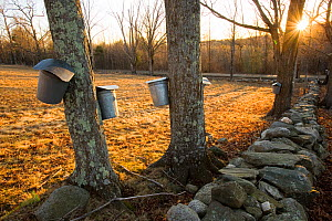 Sap buckets attached to the trunks of Sugar maple trees (Acer saccharum) to collect the maple sap, stone wall, Lyme, New Hampshire, USA, March 2007  -  Jerry Monkman