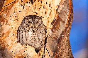 Eastern screech owl (Megascops asio) grey phase, perched, sunning, on rotten tree trunk, Odiorne Point State Park, Rye, New Hampshire, USA, January  -  Jerry Monkman