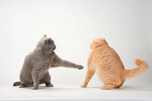 British Shorthair Cats, pair, blue and cream, one lashing out at the other - Petra Wegner