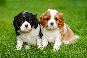 Cavalier King Charles Spaniel, two puppies on grass, blenheim and tricolour, 5 weeks  -  Petra Wegner