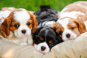 Cavalier King Charles Spaniel, three puppies resting on cushion bed, blenheim and tricolour, 5 weeks  -  Petra Wegner
