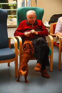 Elderly man feeding a treat to a Cavalier King Charles Spaniel in an Old People's Home, ruby colour, Germany - Petra Wegner