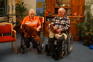 Two elderly men in wheelchairs with two Cavalier King Charles Spaniels on their laps in an Old People's Home, ruby and blenheim colour, Germany  -  Petra Wegner