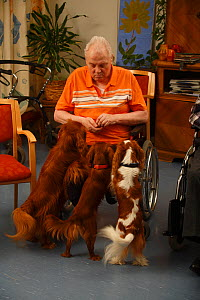 Elderly man in wheelchair feeding treat to three Cavalier King Charles Spaniels in an Old People's Home, ruby and blenheim colour, Germany - Petra Wegner