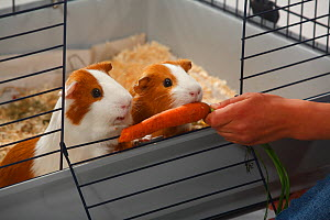 Feeding carrot to Guinea Pigs in cage  -  Petra Wegner