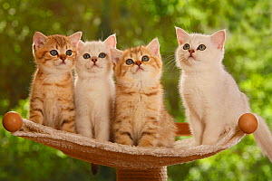 Four British Shorthair kittens, two silver-shaded and two golden-mackerel-tabby, sitting on stand - Petra Wegner