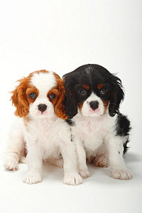 Two Cavalier King Charles Spaniel, puppies, blenheim and tricolour, 9 weeks, sitting  -  Petra Wegner